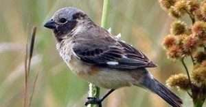 Iberá Seedeater by Barry Reed