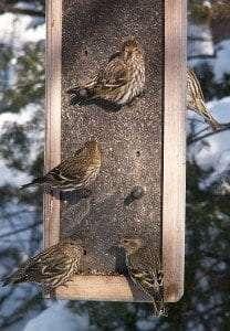 Pine Siskin courtesy Wikimedia user Cephas