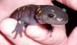 spotted salamander courtesy L Heady