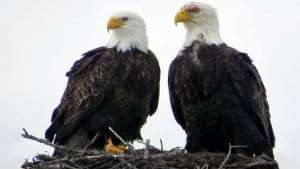 Bald Eagles by Blaire Smith/Macaulay Library.