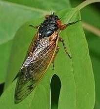 Cicada by Jon Yuschock
