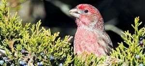 Male House Finch by Brian E Kushner