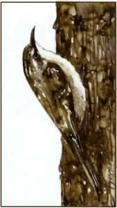 TOS_Brown Creeper