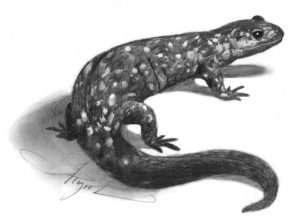 TOS_hybrid-salamander