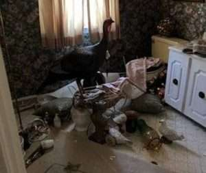 Turkey perched atop the mess created in bathroom of Erie County home