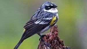 Yellow-rumped Warbler by Gary Mueller