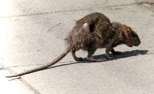 rat in a city street courtesy Wikimedia user Edal Anton Lefterov