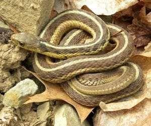 Eastern Garter Snake courtesy Wikimedia user Wilson44691