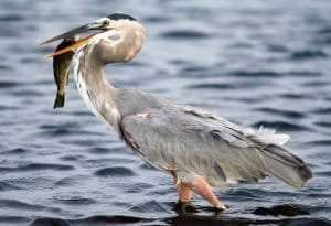 Great Blue Heron courtesy Wikimedia user Terry Foote