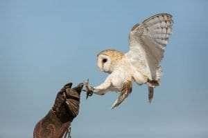 barn owl landing on a falconers hand courtesy Wikimedia user Carlos Delgado