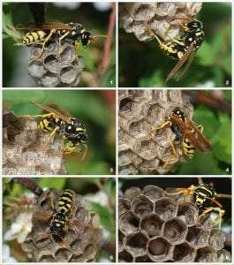 young paper wasp queen courtesy Wikimedia user Alvesgaspar
