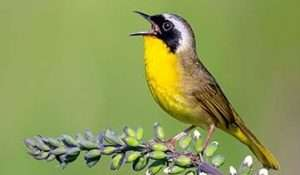 Common Yellowthroat by Brad Imhoff