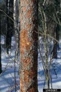Dying Eastern Larch Tree by Steven Katovich