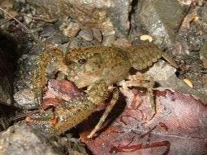 crayfish courtesy Wikimedia user Gusmonkeyboy