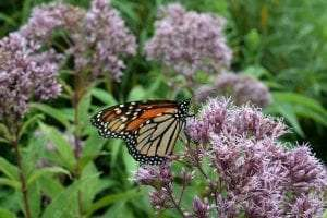 Monarch Butterfly provided by AdkAction