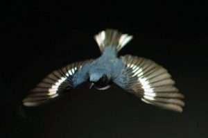 male Black-throated Blue Warbler in flight