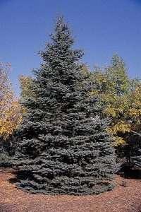 Blue Spruce tree courtesy USDA