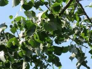Eastern Cottonwood courtesy Wikimedia user Laurent Bélanger