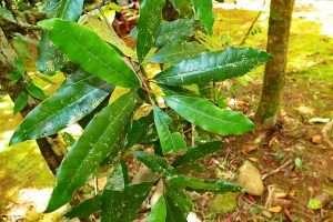 Pycnandra acuminata courtesy Wikimedia user Benoit Henry
