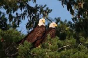 bald eagles by Bill Combs Jr