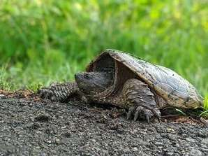snapping turtle by Holly Faulkner