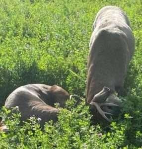 Bucks with antlers locked