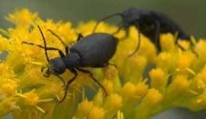 The blister beetle Epicauta pennsylvanica courtesy wikimedia user xpda