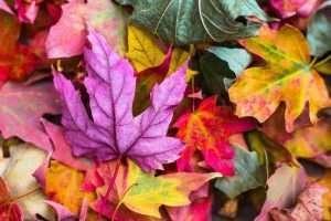 Autumn leaves courtesy LPLC