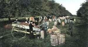 Clark Allis' Medina orchards showing picked apples barreled on site, ca 1910
