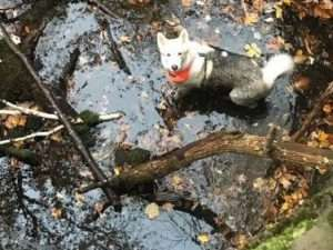 Husky at bottom of the well prior to rescue Kaaterskill Hotel site
