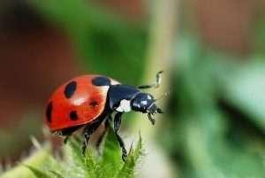 lady bug courtesy Wikimedia user Gilles San Martin